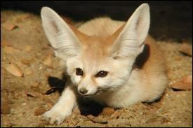 Adapté à la vie dans le désert , il fréquente le Sahara. Il a de très longues oreilles (pouvant mesurer jusqu'à dix centimètres) , il mesure de 20 à 40 cm . Il est la plus petite espèce de canidés au monde ... Qui est-il ?