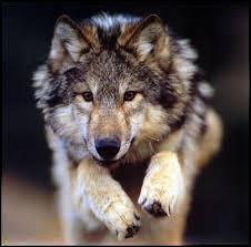 Les loups étaient très nombreux à vivre en forêt, quand ils étaient trop affamés, ils dévoraient du bétail dans les fermes. Du coup, les hommes les chassèrent. Depuis quand, en France, les loups sont-ils protégés ?