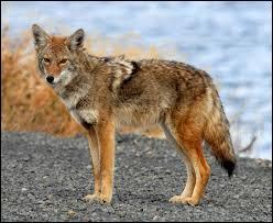 Quel(s) continent(s) les coyotes occupent-ils ?