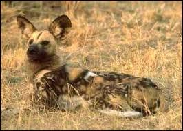 Il est également appelé chien sauvage. Ce canidé vit en Afrique, très dur à apercevoir. C'est un très bon chasseur. Qui est-il ?