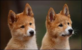 Après une gestation de 63 jours, combien de petits dingos une femelle met-elle généralement au monde ?