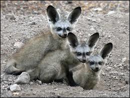 Il est aussi appelé renard à oreilles de chauve-souris car il a de longues oreilles (11 à 13 cm ), son pelage est gris-cendre, il a une ouïe très fine, grâce à laquelle il repère les insectes qui constituent presque la totalité de son alimentation. Qui est-il ?