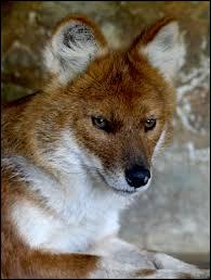 On l'appelle également chien sauvage d'Asie, chien rouge ou encore chien sauvage indien, mais son nom le plus connu est le ''dhole''. Quelle taille mesure sa queue ?