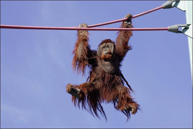 Quelle marque de pneumatique, dans un spot publicitaire, utilise l'image de ce primate ?