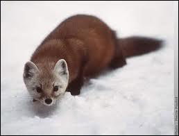 Cette espèce-ci est la plus caractéristique de la famille des petits mammifères carnivores : digitigrade à cinq doigts, oreilles arrondies, queue longue et touffue. Quel est son nom ?
