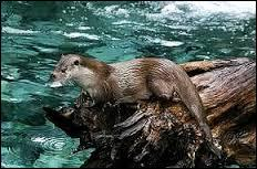 Lors de ses plongées, la loutre a les oreilles et les narines obstruées, elle perd donc son odorat et son ouïe, ce qui handicape sa chasse. Combien de temps peut-elle rester en apnée sous l'eau ?