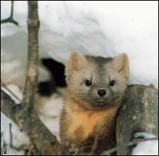 Ses principaux prédateurs sont le chat sauvage, le renard roux et le hibou. Si elle ne se fait pas avoir par l'un de ceux-ci, jusqu'à quel âge peut-elle vivre ?