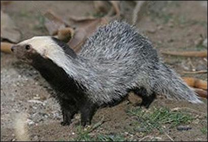 C'est un petit mammifère terrestre qui vit dans la pampa de la Patagonie de l'Argentine et du Chili. Il sort seulement au crépuscule et chasse surtout la nuit. Quel est son nom ?