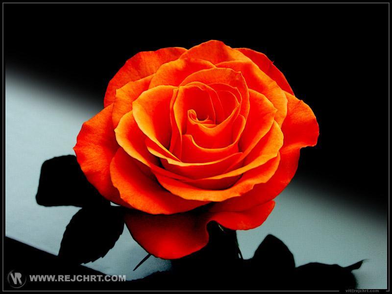 De quelle couleur est cette deuxième rose ?
