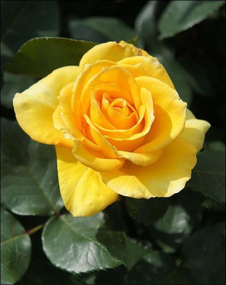 De quelle couleur est la troisième rose ?