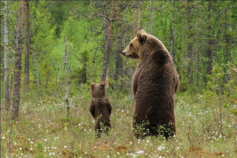Quel sens est le plus développé chez l'ours ?