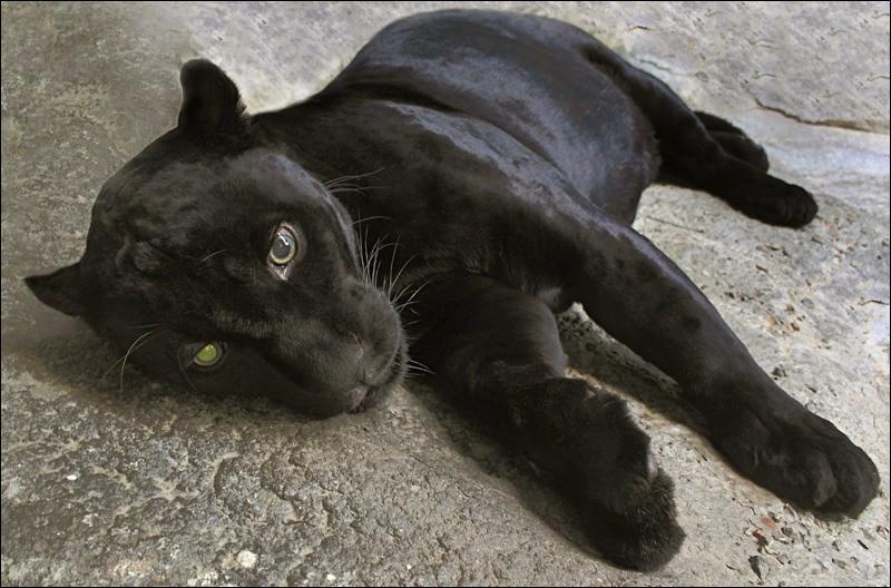 Sur quel(s) continent(s) peut-on voir une panthère (ou léopard) noire ?