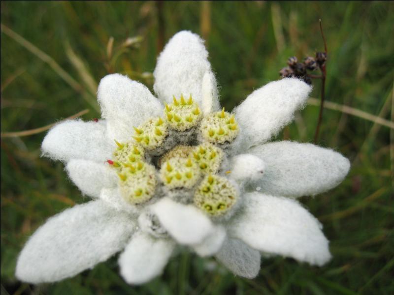 Dans quel contexte pousse l'edelweiss ?