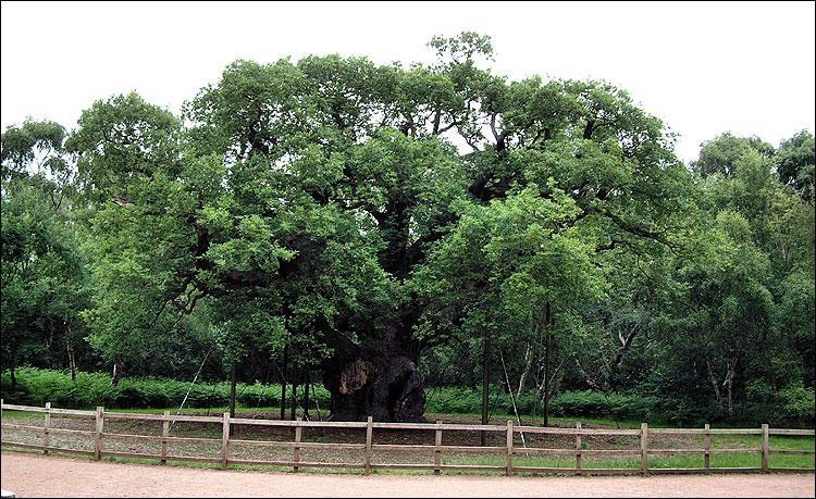 Il est également dit que dans ce site célèbre se trouverait un arbre majestueux dénommé  Major Oak  grâce auquel Robin des Bois se sentait en sécurité. De quelle espèce d'arbre le  Major Oak  fait-il partie ?