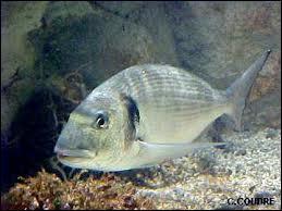 Lequel de ces poissons n'est pas un pélagique ?