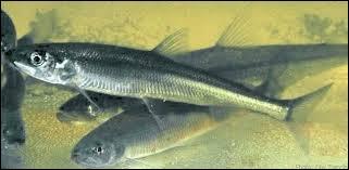 Lequel de ces poissons est le prédaté ?