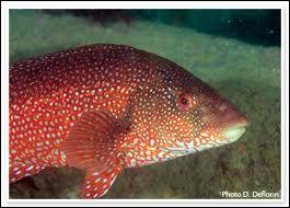 Comment s'appelle le poisson que l'on surnomme  mérou breton  ?