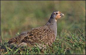 Avec quel légume les paysans avaient-ils coutume de servir la perdrix (gibier considéré en cuisine comme une volaille) ?