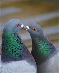 Avec quel légume sert-on souvent le pigeon domestique, classé aussi en cuisine dans les volailles ?