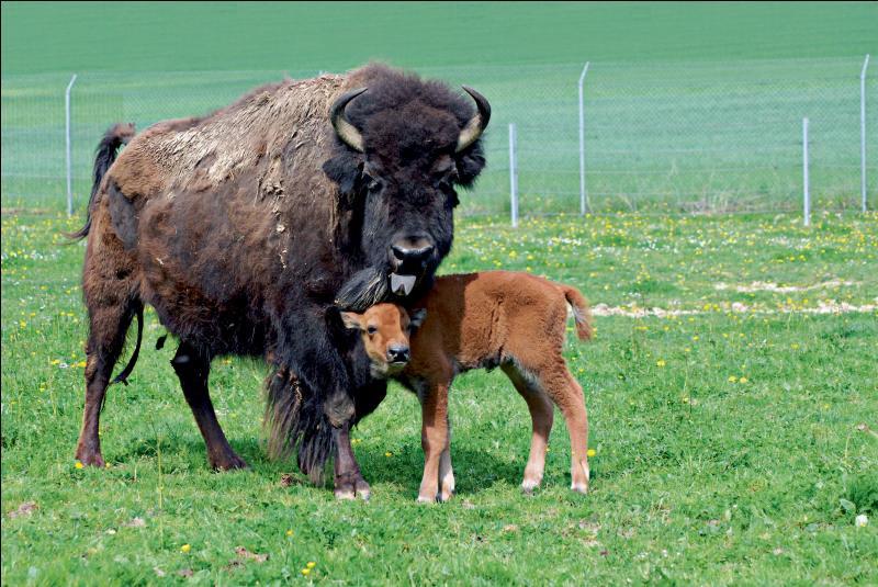 Buffalo Bill, plaines, troupeaux !