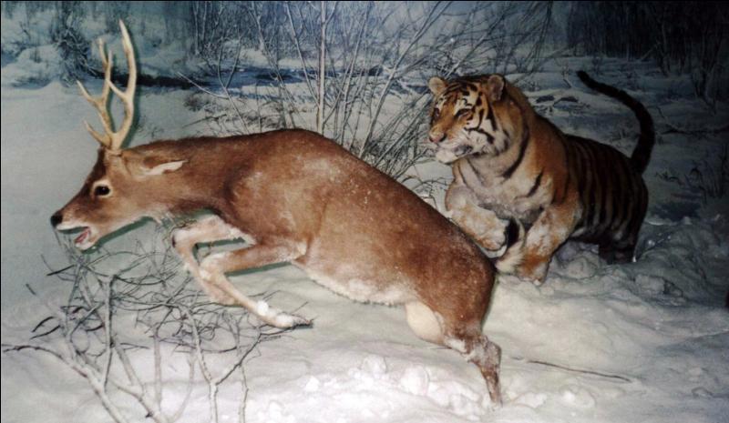 Moins 40, réserve de Sikhote-Alin, tigre de l'Amour, préservation !
