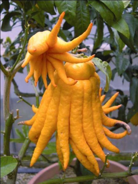 Quel est cet agrume au délicat parfum de tarte au citron meringuée ? on l'utilise soit en totalité, émincé sur des salades ou des poissons soit le zeste ; la peau confite est délicieuse.