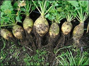 Quel est ce légume racine ? Base de l'alimentation durant la seconde guerre mondiale, des générations en ont été dégoûté, pourtant c'est bon !