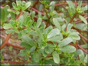 Quelle est cette petite salade croquante ? Souvent présente dans les mescluns, elle fut pourtant reconnue pour ses vertus médicinales avant celles gustatives.
