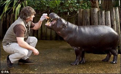 Quel est cet hippopotame, plus petit et bien plus rare ?