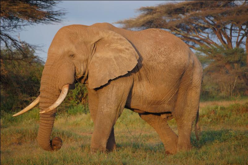 Quel est ce grand éléphant aux grandes oreilles ?