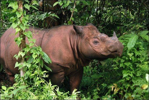 Quel est ce rhinocéros très rare ?