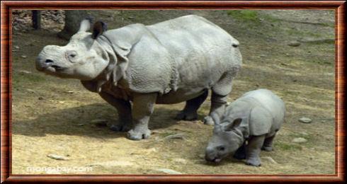 Quel est ce rhinocéros, lui aussi très rare, qui n'a presque pas de corne ?