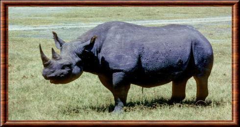 Quel est ce rhinocéros, lui aussi d'Afrique ?