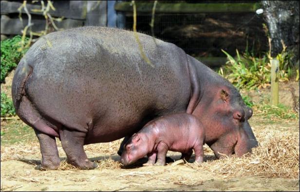 Quel est ce gros animal aquatique d'Afrique ?
