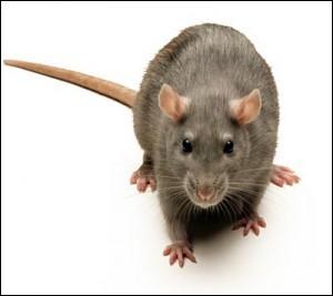 Quel est ce rat qui a conquis le monde entier (sauf les pôles Nord et Sud) ?
