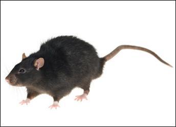 Quel est ce rat qui est plus petit mais qui a lui aussi conquis toute la Terre ?