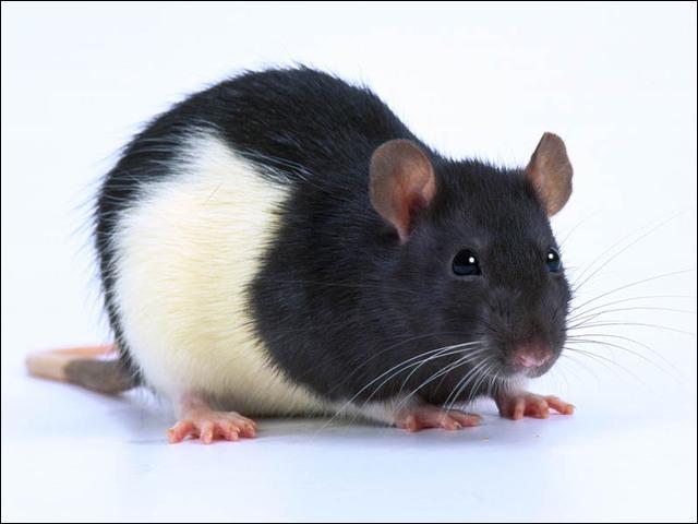 Quel est ce rat un peu plus aimé des humains ?