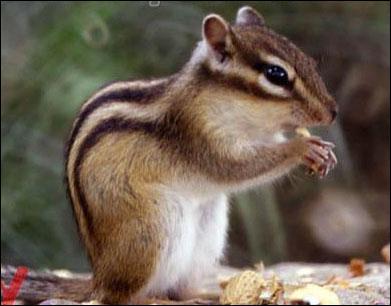 Quel est cet écureuil de plus en plus prisé comme animal de compagnie ?