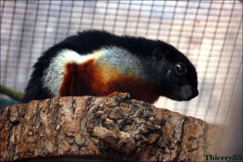 Quel est cet écureuil aux belles couleurs ?