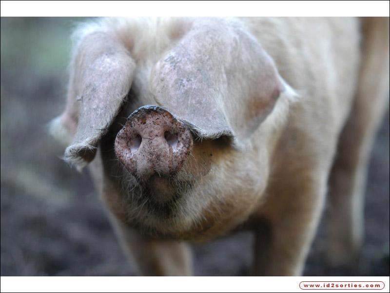 Quel est ce gros cochon très apprécié pour sa chair ?