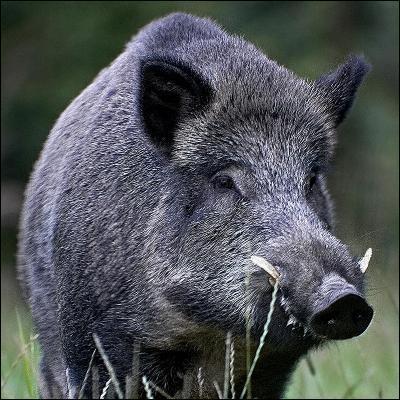 Quel est ce  cochon  sauvage d'Europe et d'Asie ?