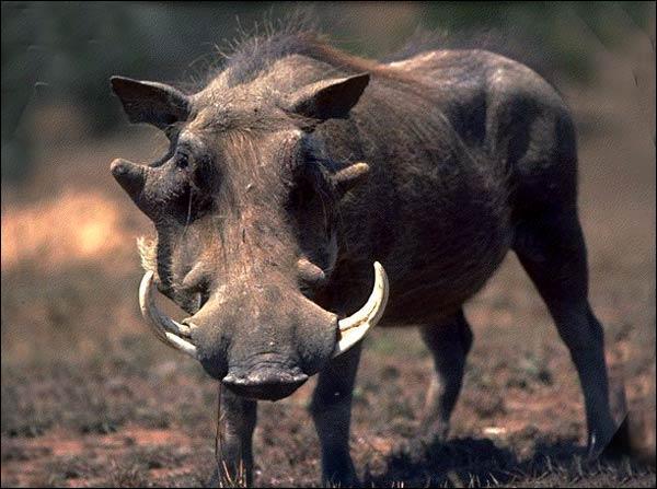 Quel est ce ''cochon'' sauvage d'Afrique ?