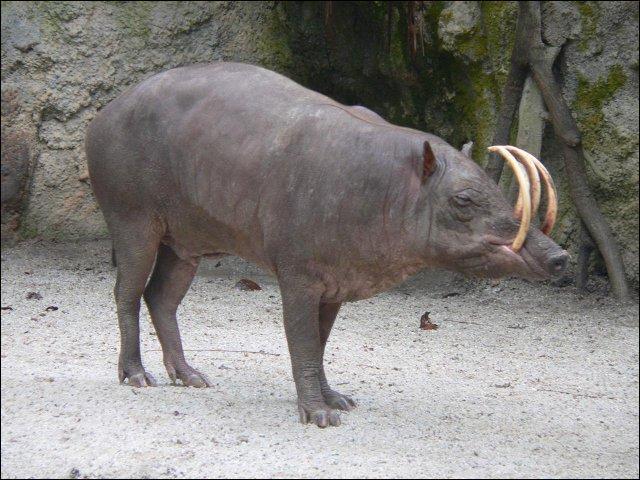 Quel est ce  cochon  sauvage, rare, endémique des petites îles ?