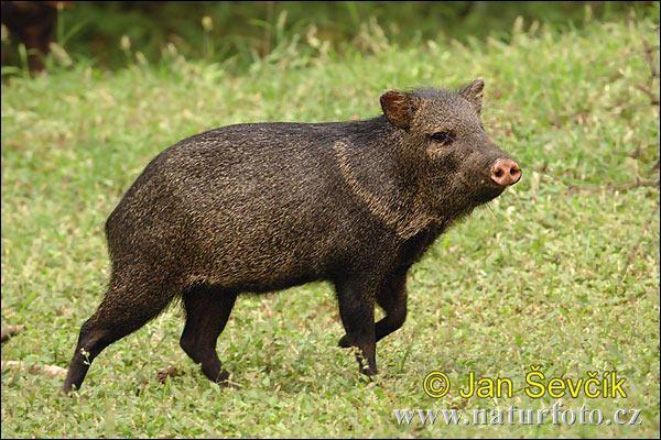 Quel est ce petit  cochon  sauvage qui tient son nom de la tache sur son cou ?
