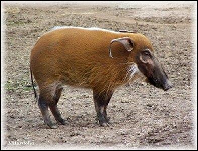 Quel est ce  cochon  sauvage aux belles couleurs ?