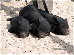 Quel est ce petit de la famille des Suidés, apprécié comme animal de compagnie ?