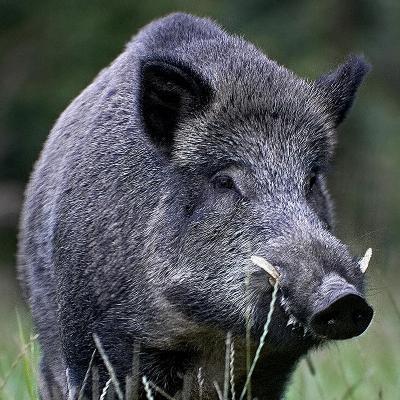 Les suidés : cochons et sangliers