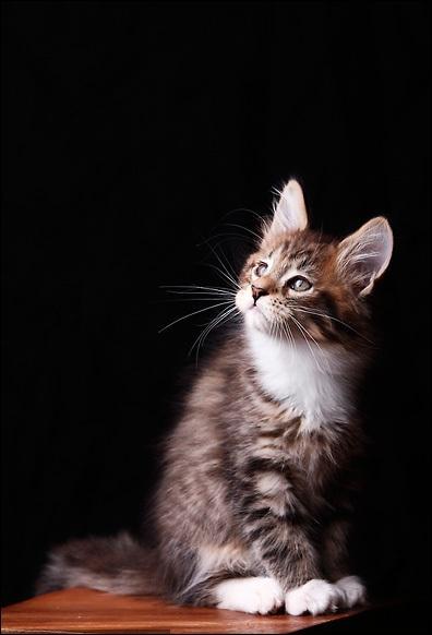 Quel auteur qui a dû se montrer un  homme pressé  avec les chats a écrit :  Les chats sont incompris parce qu'ils dédaignent de s'expliquer : ils ne sont énigmatiques que pour ceux qui ignorent le pouvoir expressif du silence  ?