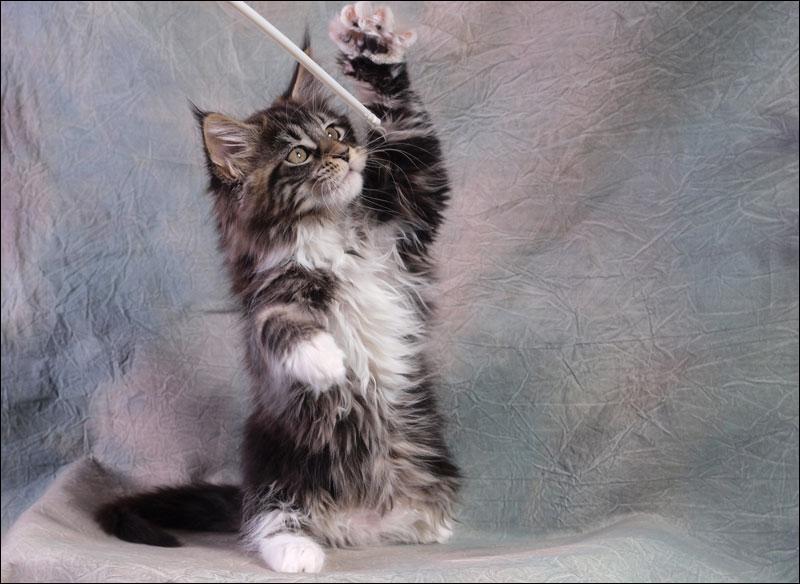 Quel auteur a dû tenté de nombreux  essais  de jeux avec son chat pour écrire :  Quand je joue avec mon chat, qui sait s'il ne s'amuse pas plus de moi que je ne le fais de lui ?   ?
