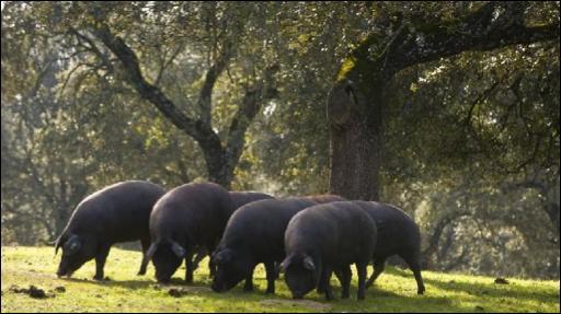 L'appellation pata negra correspond à un porc :